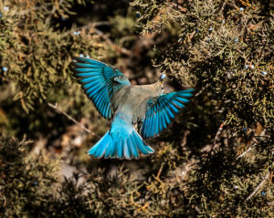Mountain Bluebird Binging on Juniper Berries