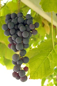 Click the grapes for harvest photos.