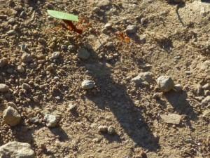 cutter-ant