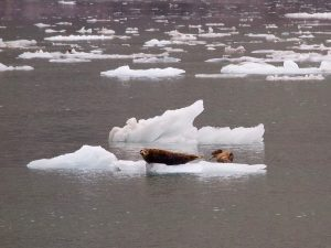 Harbor Seals breed safely in the shadow of calving glaciers.