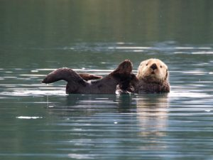 River Otters on the upper lagoon.Click for more images from this visit.
