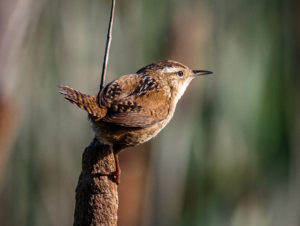 Marsh Wren observed in the Humboldt Bay National Wildlife Refuge.